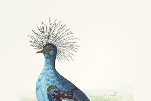Hand drawn crowned pigeon