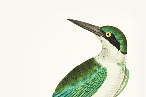 Drawing of green headed kingfisher