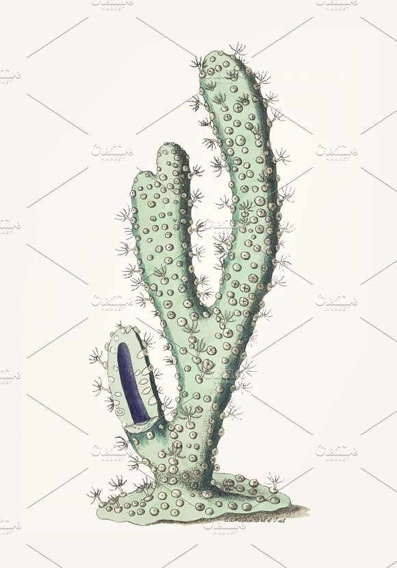Drawing Of Thick-armed Gorgonia