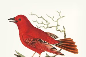 Hand drawn of Mississippi tanager