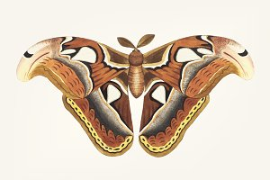 Hand drawn of atlas moth