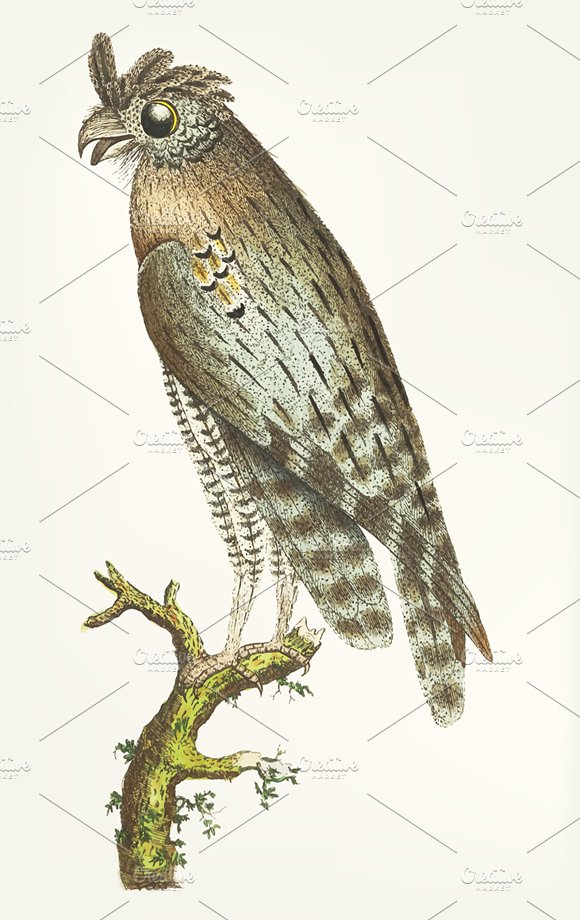 Hand Drawn Of Least Horned Owl