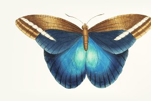 Drawing - great occidental butterfly