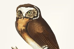 Hand drawn of white-fronted owl