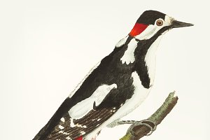 Drawing of greater spotted wood-peck