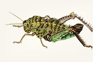 Hand drawn of elephant locust