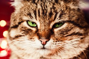 beautiful cat. menacing look. close-