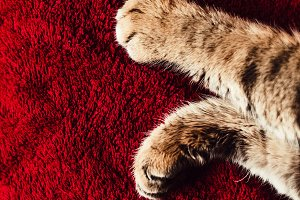 paws of the kitten. claret backgroun