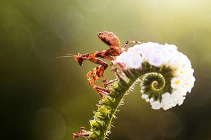 mantis, insect, macro,