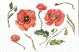 Wildflower red poppy PNG watercolor