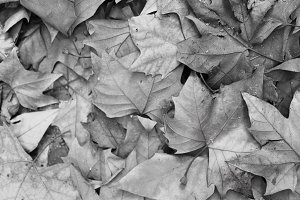 Leaves Background Black and White