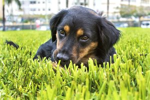 A black dog on the green lawn