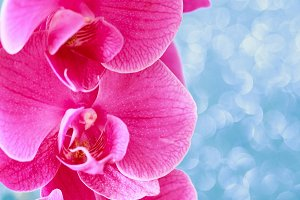 pink Orchid background on blue delic
