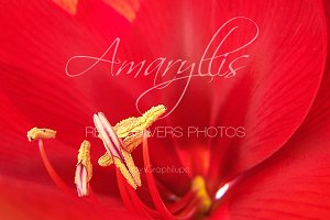 Amaryllis - Red flower close-up