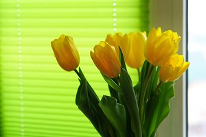 Yellow tulips by window