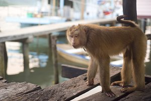 Monkey, Thailand