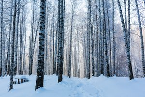 Journey to the fairy tale. Birch grove under the snow. The Arctic. The cold northern sun is above the horizon