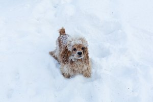 English cocker spaniel dog portrait in winter