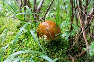 Mushrooms orange cap boletus on the moss