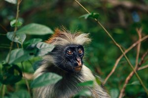 monkey red colobus