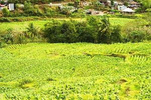 Tobaco field, Philippines