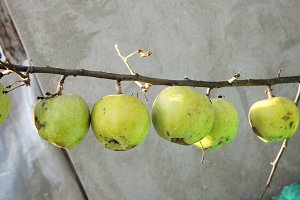 Apples on a bare branch.