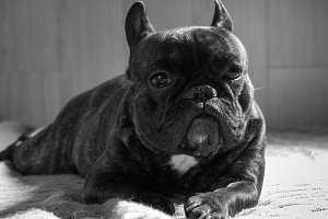 Dog black and white portrait