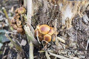 Mushrooms on a stump.