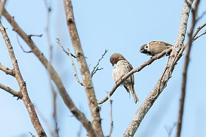 twin sparrow perched on a branch