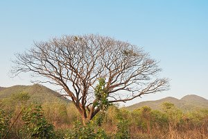 Branch of dead big tree
