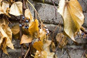 Climbing plants on a stone fence.