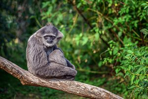 Silvery gibbon also known as Hylobates moloch