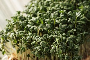 Garden cress, young plants.