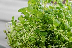 Marjoram bio herbs