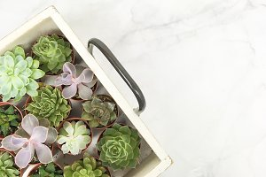 Succulents on a Wooden Tray