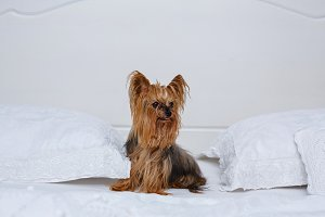 Yorkshire Terrier sits on a bed