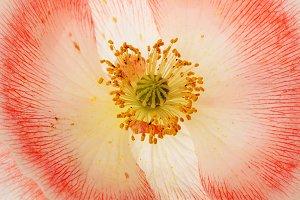 Poppy flower background