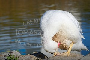 White Duck Cleaning The Feathers