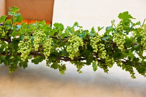 Bunches of ripe grapes over the wall