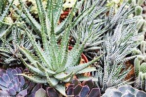 Aloe and haworthia in the garden