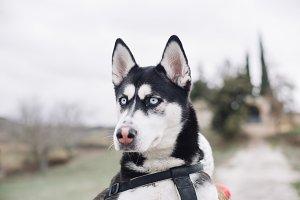 Close-up of Siberian Husky dog.