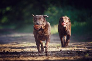 Two Chocolate Labradors Running