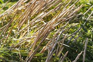 Rice varieties field in Farming Plan