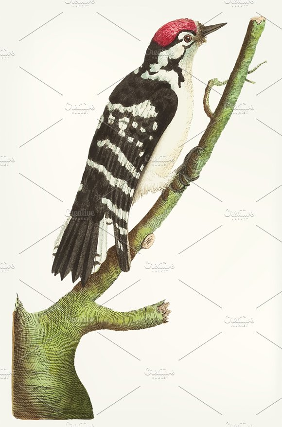 Drawing Of Lesser Spotted Woodpecker