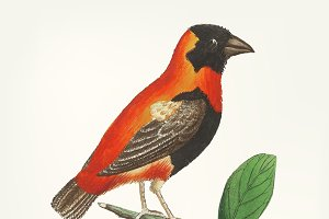 Hand drawn of grosbeak