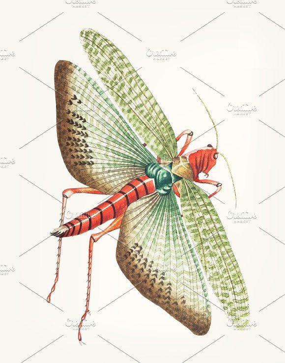 Hand Drawn Of Egyptian Locust