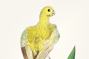 Hand drawn of bird yellow parakeet