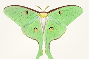 Drawing of large pea-green phalaena