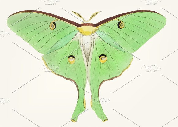 Drawing Of Large Pea-green Phalaena