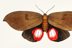 Hand drawn of augusta moth